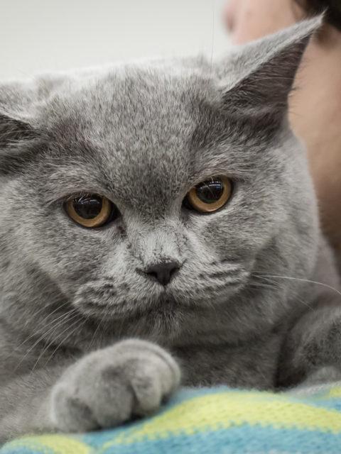 Jak wyglądają wystawy kotów rasowych FIFe?