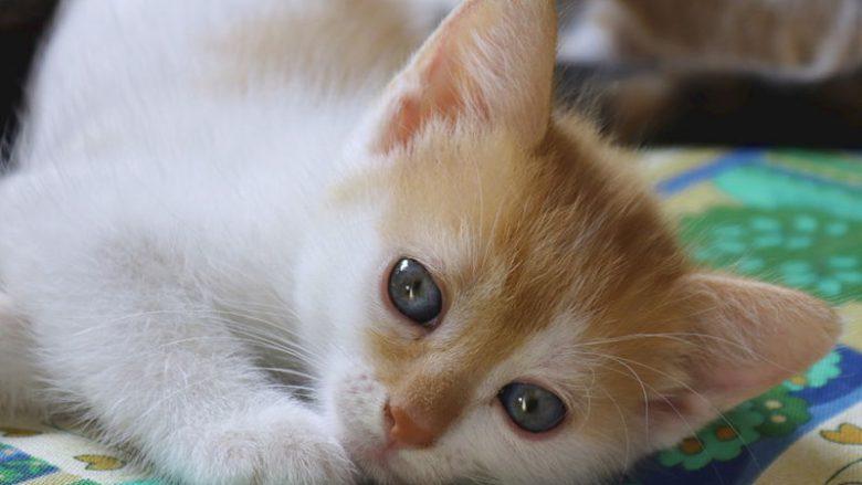 Sprzedaż kotów według regulaminu FIFe