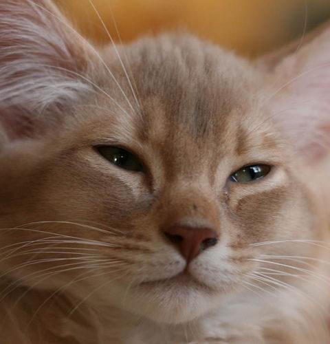 Dziedziczenie umaszczenia płowego u kotów