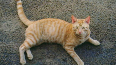 Dziedziczenie umaszczenia pręgowanego u kotów
