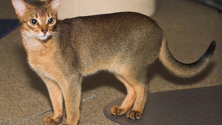 Dziedziczenie umaszczenia ticked u kotów