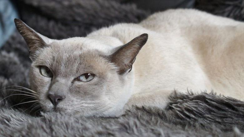 Kot tonkijski krótkowłosy