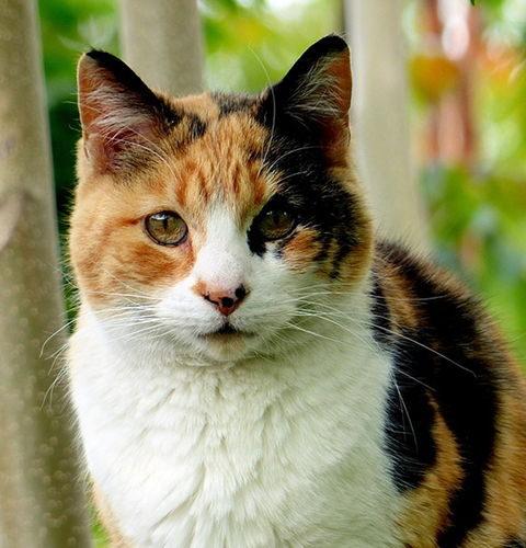 Calico umaszczenie u kotów