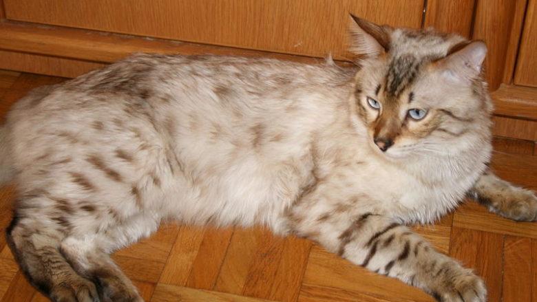 Kot bengalski długowłosy
