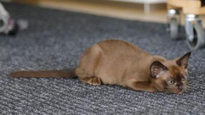 Nie kupuj kota w worku, czyli co zrobić, by nie dać się nabrać pseudo-hodowcom!