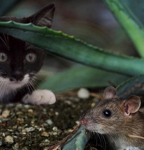 Skąd kot wie, na jakie zwierzęta polować?