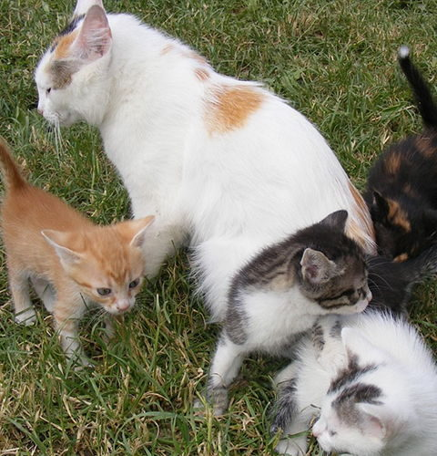 Nadpłodnienie i zapłodnienie dodatkowe u kotów?