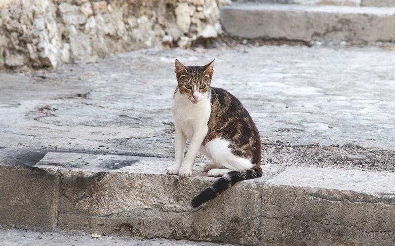 Wścieklizna u kotów