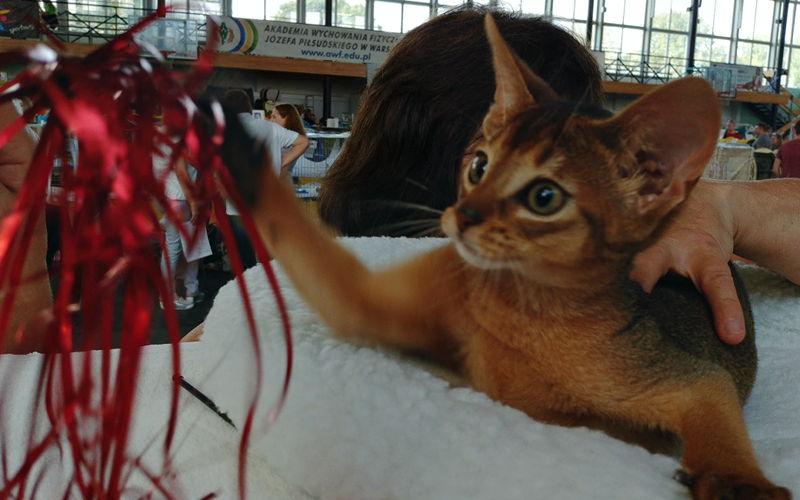 Koty rasowe naAWF, czyli wystawy Jedynki wrzesień 2018