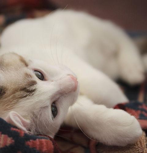 Czy kot niewychodzący może mieć pchły?