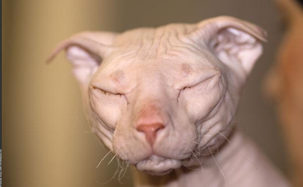 Najdziwniejsze rasy kotów