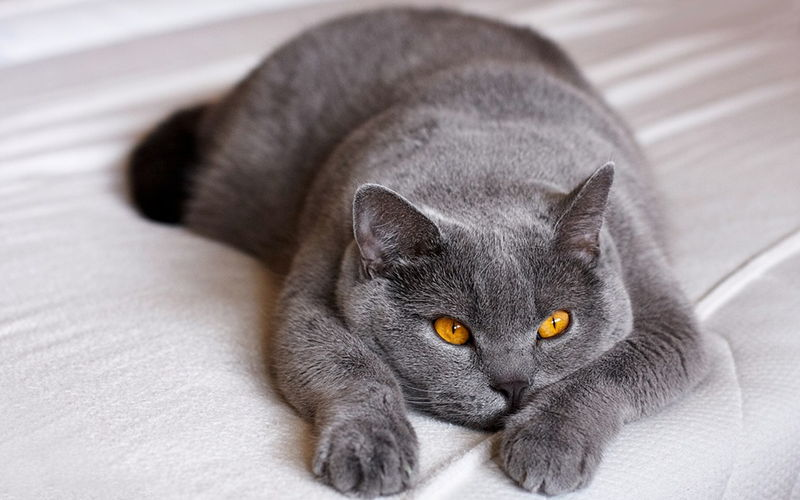 Od czego zależą ceny kotów rasowych