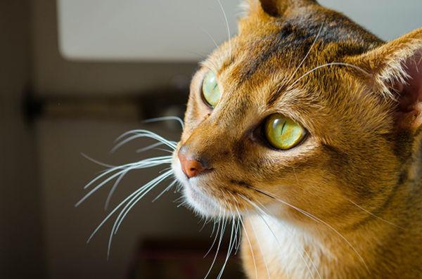 Najpiękniejsze rasy kotów – kot abisyński