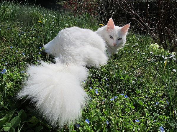 Najpiękniejsze rasy kotów - turecka angora