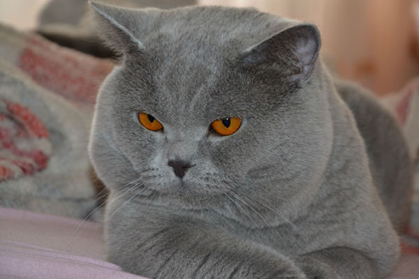 Najpiękniejsze rasy kotów - kot brytyjski