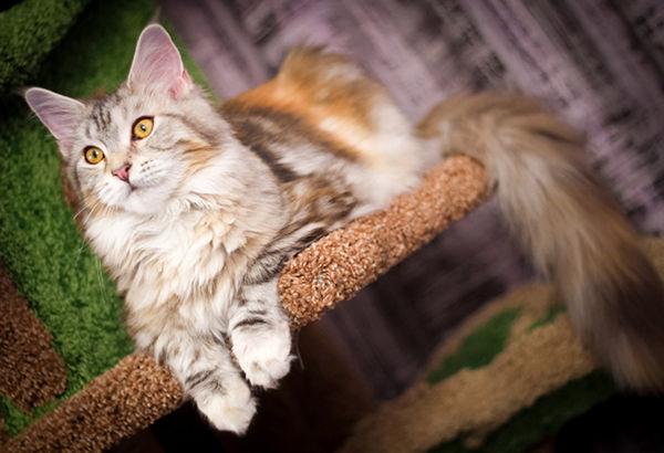 Najpiękniejsze rasy kotów - maine coon