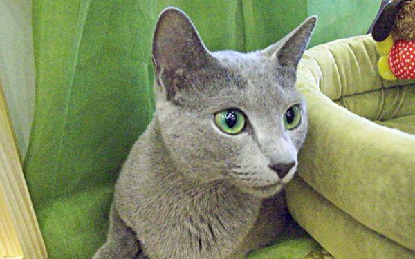 Najpiękniejsze rasy kotów – kot rosyjski niebieski