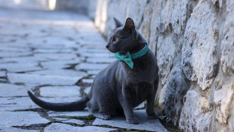 Najpiękniejsze rasy kotów - Kot rosyjski niebieski