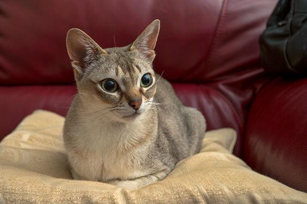 Najpiękniejsze rasy kotów – kot singapurski