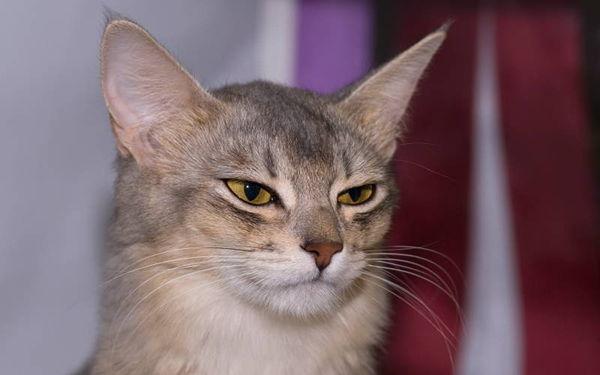 Najpiękniejsze rasy kotów – kot somalijski