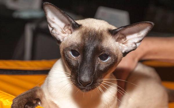 Najpiękniejsze rasy kotów – kot syjamski