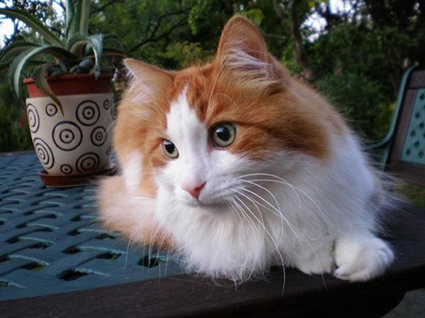 Najpiękniejsze rasy kotów - turecki van
