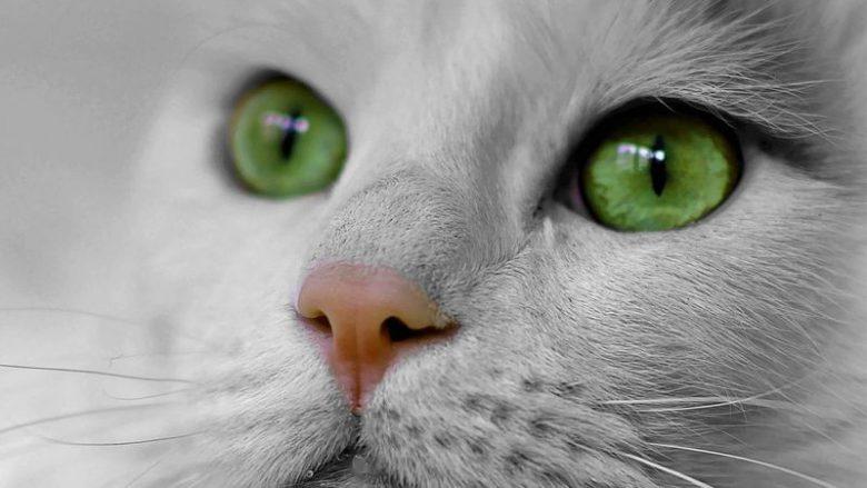 5 ras kotów o najpiękniejszych oczach