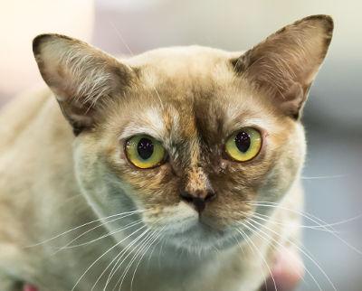 5 ras kotów onajpiękniejszych oczach - kot burmski