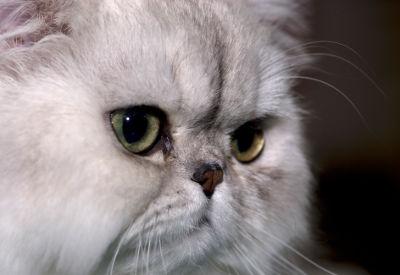 5 ras kotów onajpiękniejszych oczach - kot perski