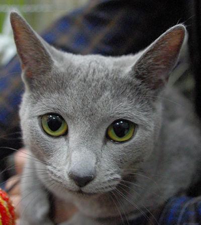5 ras kotów onajpiękniejszych oczach - kot rosyjski