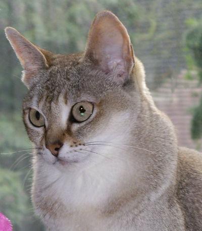 5 ras kotów onajpiękniejszych oczach - kot singapurski
