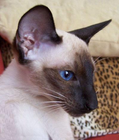 5 ras kotów onajpiękniejszych oczach - kot syjamski