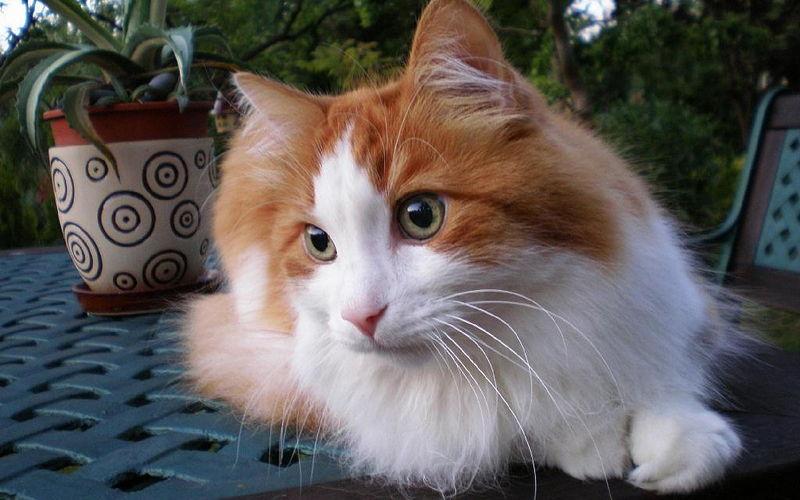 Czy koty się strzyże?