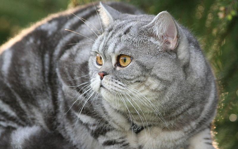 Czego możemy dowiedzieć się z rodowodu kota rasowego?