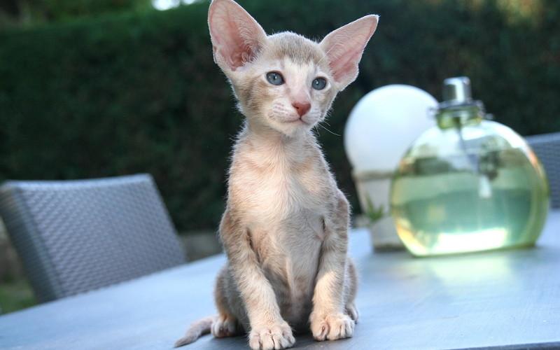 Jak szybko i do jakiego wieku rośnie kot?