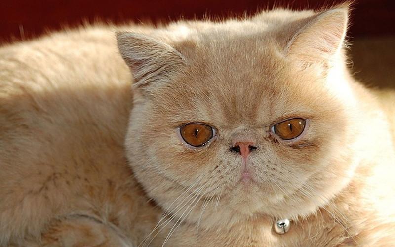 Łzawienie oczu u kotów