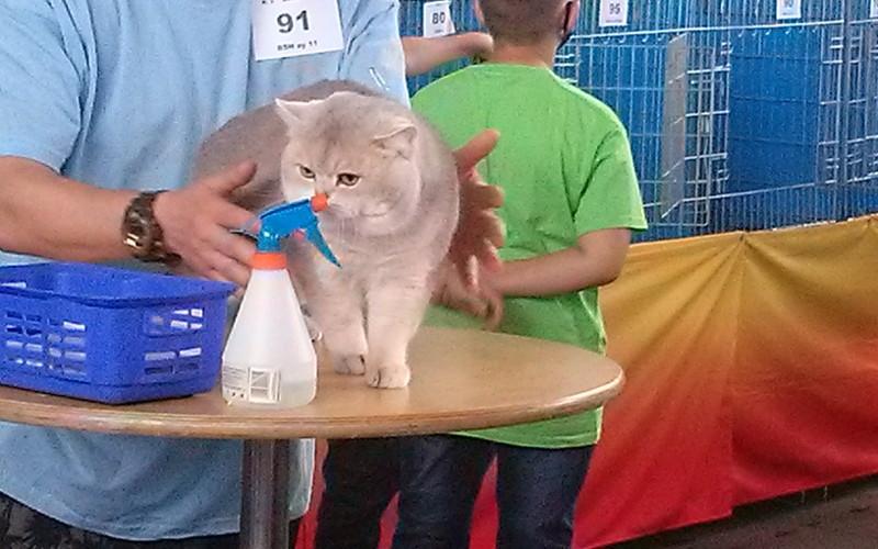 LX iLXI Międzynarodowe Wystawy Kotów Rasowych, Warszawa wrzesień 2020