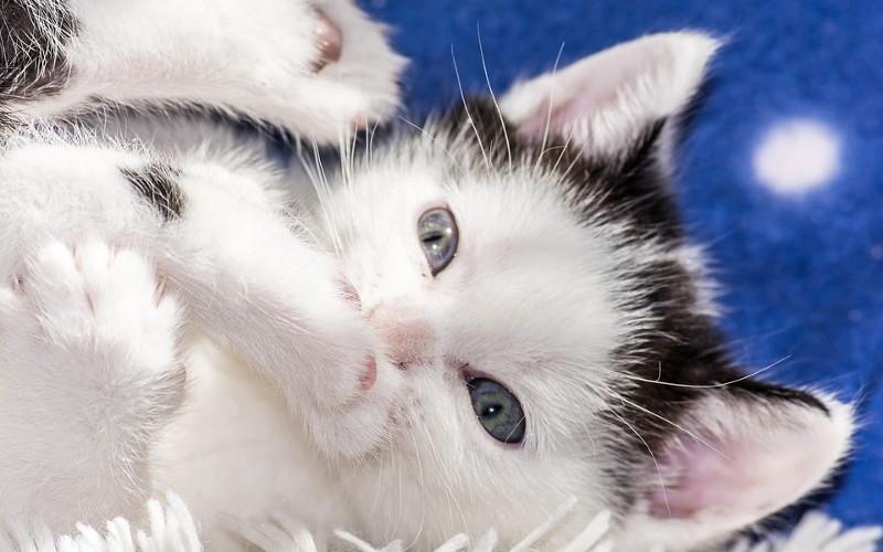Zęby mleczne u kota