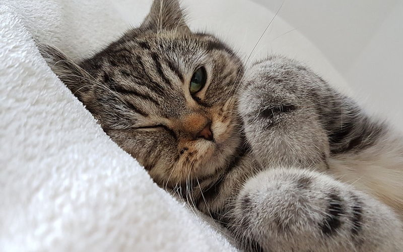 Anemia u kotów
