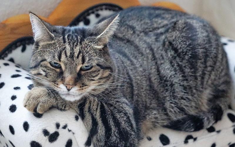 Nadwaga i otyłość u kotów