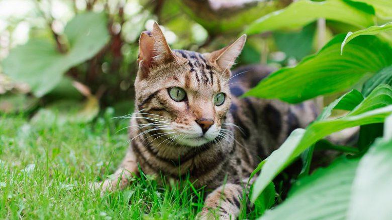 Dlaczego koty rasowe są tak drogie?