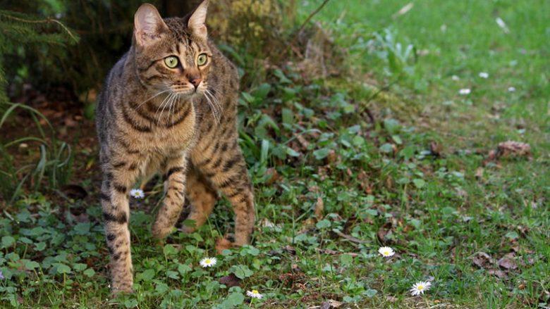 Czy długie nogi u kota są lepsze od krótkich?